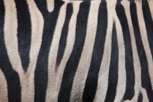 Zebras, Mafia, (AI) Artificial Intelligence, Cyber Security